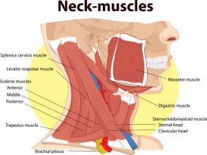 Labelled Diagram of Neck Muscles